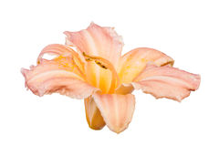 Light orange isolated lily bloom. Light orange lily bloom isolated on white background Royalty Free Stock Images