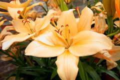 Light orange lilies in the garden Royalty Free Stock Image