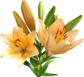 Light orange lily bunch isolated on white Royalty Free Stock Image