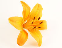 Light Orange Lily Flower Royalty Free Stock Photos