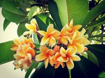 Light orange plumeria flowers against its green leaves stock image
