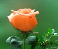Light orange rose flower for gift. Used in flower arrangements, flower petals of colours, botany and decoration for gardens, flora and nature Stock Image