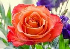 Light orange rose flower, pattern petals, close up Stock Image