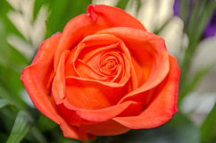 Light orange rose flower, pattern petals, close up Royalty Free Stock Photo