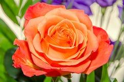 Light orange rose flower, pattern petals, close up Royalty Free Stock Photography