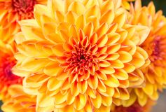 Light Orange Yellow Mum Flowers in The Garden Center Stock Images