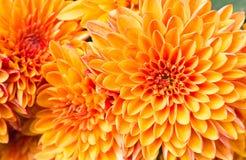 Light Orange Yellow Mum Flowers in Garden Right Stock Image