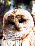 Light owl Wondering Stock Photography