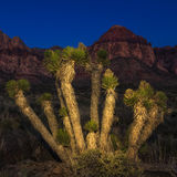 Light Painted Joshua Tree Royalty Free Stock Images