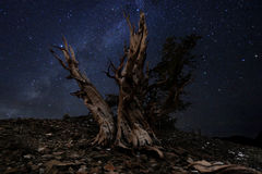 Light Painted Landscape of  Stars in Bristlecone Pines Stock Photography