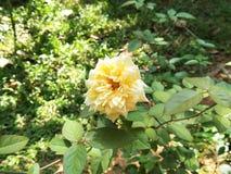 Light Pale Yellow Rose Sri Lanka royalty free stock photo
