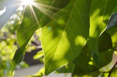 Light pass through the leaf Royalty Free Stock Photo