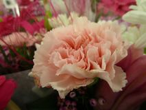 Light peach and pink color fresh carnation bouquet close up. For Valentine`s day, February 2019 stock images