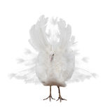 Light peacock isolated on white Royalty Free Stock Photo