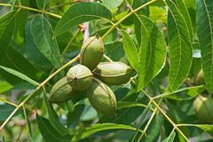LIGHT ON PECAN NUT CLUSTER AND FOLIAGE ON A TREE. View of a cluster of pecan nuts and green leaves on a branch of a pecan nut tree in a garden Stock Photography