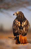 Light Phase Red Tailed Hawk Stock Image