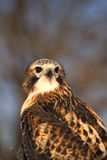 Light Phase Red Tailed Hawk Portrait Royalty Free Stock Images