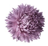 Light pink  aster flower isolated on white background with clipping path.  Closeup no shadows. Stock Photos