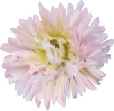 Light pink aster flower isolated on white Royalty Free Stock Photo