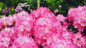 Light pink azaleas flowers in the garden. Stock Photography