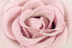 Light pink beautiful rose Royalty Free Stock Image