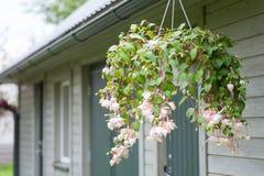 Light pink bleeding heart blossoms hanging from a flower pot Stock Photography
