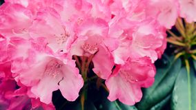 Light pink blooming azaleas in the garden. Royalty Free Stock Photo