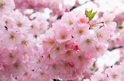 Light pink blooming cherry tree, closeup Stock Photos