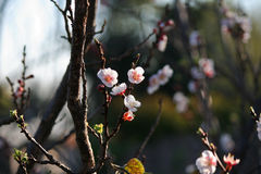 LIGHT PINK BLOSSOMS. Delicate light pink blossoms on fruit tree Stock Photo