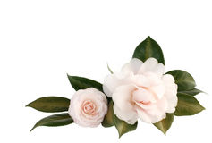 Light Pink Camelia Isolated on White Royalty Free Stock Photo