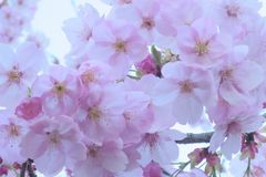 Light Pink Cherry Blossom Close-Up Royalty Free Stock Photo