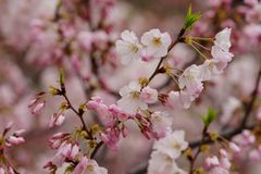 Light pink cherry blossom up close Stock Images