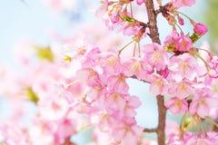 Light Pink Cherry Blossoms Stock Photo