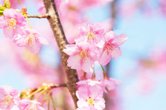 Light Pink Cherry Blossoms Royalty Free Stock Photo