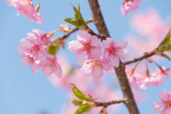 Light Pink Cherry Blossoms Royalty Free Stock Image