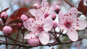 Light Pink Cherry Plum Flowers and Buds. Light pink cherry plum flowers and several buds on the branch Royalty Free Stock Photos