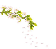 Light pink cherry-tree petals and flowers Stock Photography
