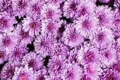 Light pink chrysanthemum bouquet background stock photo