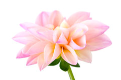 Light pink  chrysanthemum dahlia Royalty Free Stock Photos