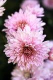 Light pink chrysanthemum. On a dark background Stock Photo