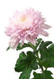 Light pink chrysanthemum Stock Photos