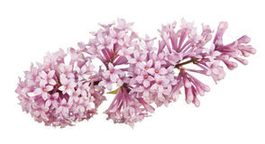 Light pink color lilac isolated inflorescence Stock Photos