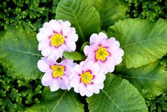 Light pink color primula flowers Spring primrose with green le Royalty Free Stock Photo
