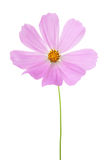 Light pink Cosmos flower isolated on white background. Garden Cosmos Stock Images
