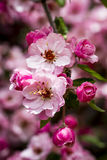 Light Pink Crab Apple Tree Blooms Stock Photos