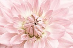 Light pink dahlia. Light pink and yellow flower close up macro photo with light colours with fresh blossoming dahlia flower head royalty free stock photography