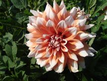 Light pink dahlias in the summer garden royalty free stock photography