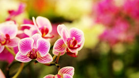 Light pink Farland orchid in colorful flower garden with soft focus background. Royalty Free Stock Photo