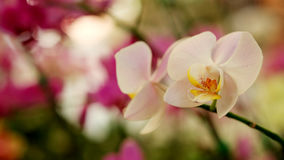 Light pink Farland orchid in colorful flower garden with soft focus background. Have some space for write wording royalty free stock photography