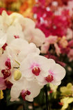 Light pink Farland orchid in colorful flower garden with soft focus background. Stock Images